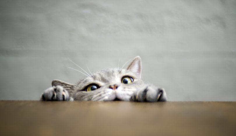 En katt vil opp på bordet