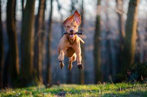 En hund etter pinne