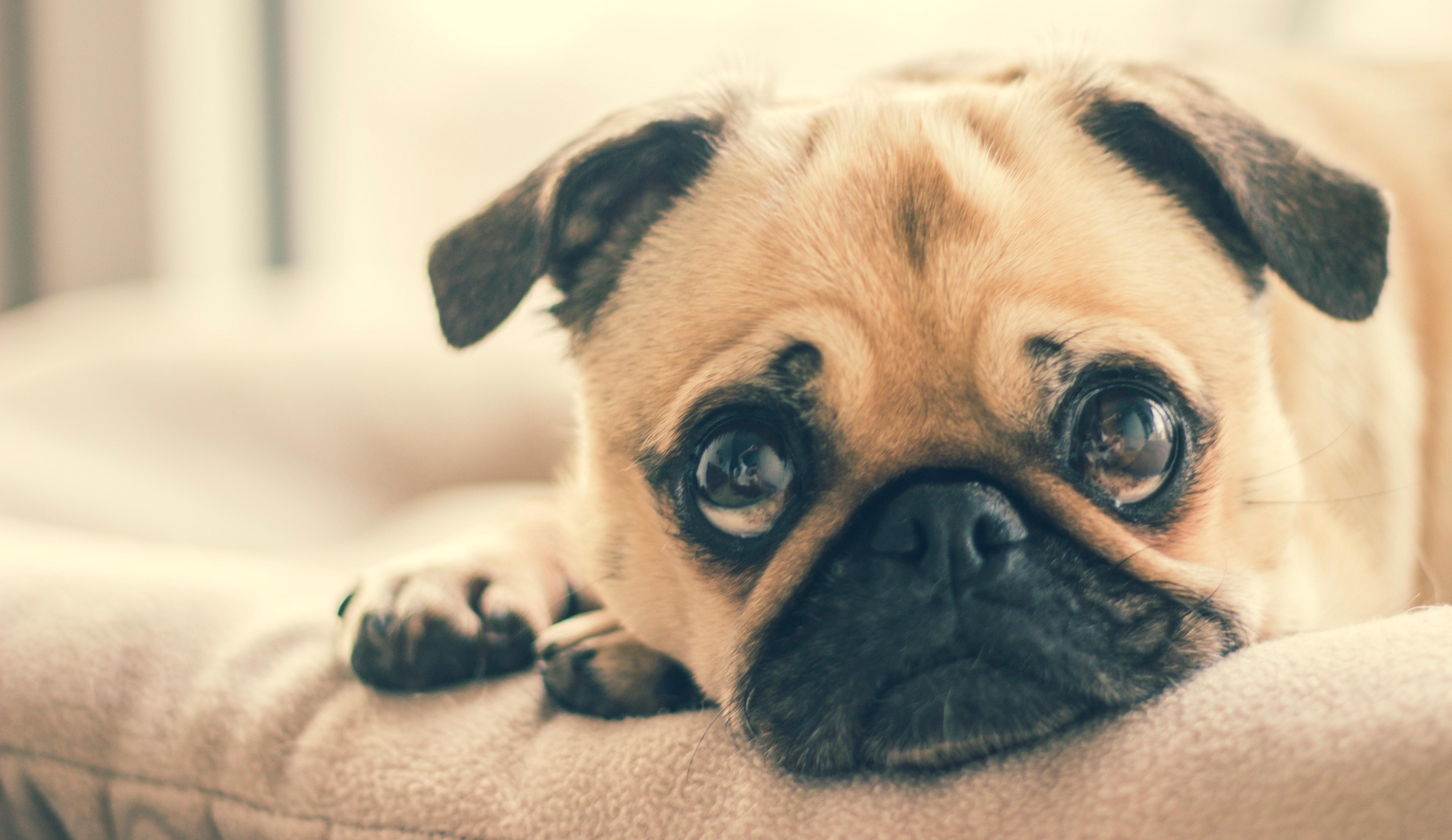En bedende hund